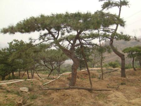 做好种植泰山迎客松的工作包括防水排涝和降温