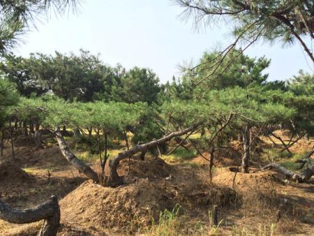 喜迎中秋,造型黑松适宜的生长环境与培育方法