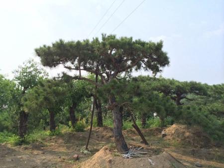 造型松树在生长过程中出现枝损伤怎样复原?
