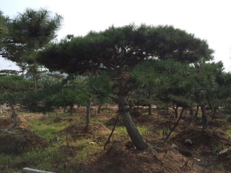 林业改革部门赴福建省武平县考察造型黑松林业改革工作