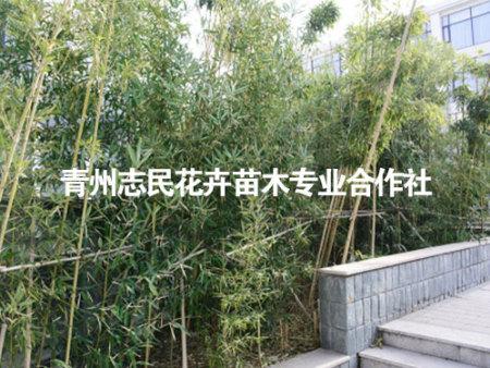 怎么防治绿化竹子的竹秆锈病?