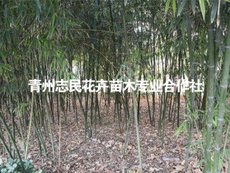 早园竹的观赏特色与园艺配植