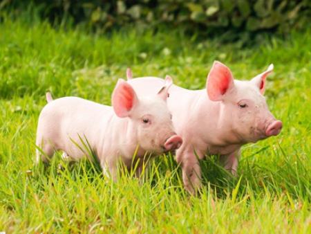 入春养猪注意事项