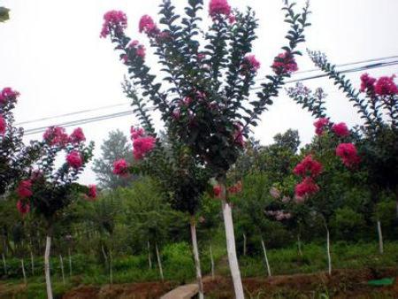 苗木花卉基地—苗木