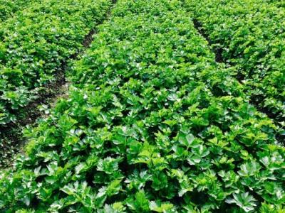 洛阳蔬菜种子批发-关林蔬菜种子批发-洛阳蔬菜种子-洛阳市铭阳种业