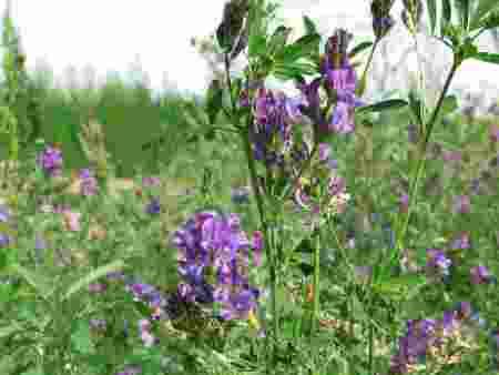 适合养牛羊牧草种子有哪些品种?哪一种羊草种子好?