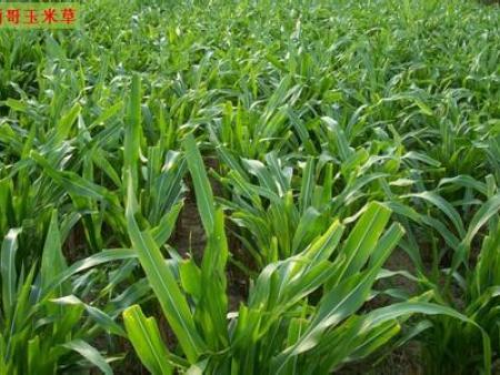 这几种高产牧草品种极易在北方生长