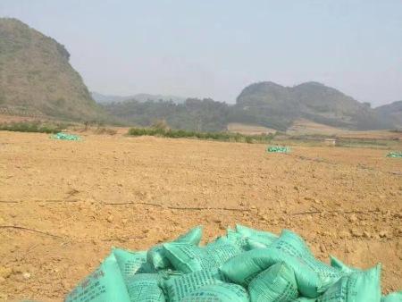 大青枣种植地,用12bet博手机客户端做基肥