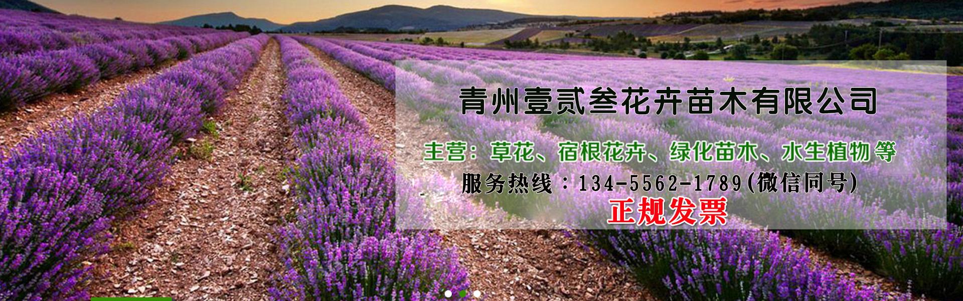 草花基地-精品菊花