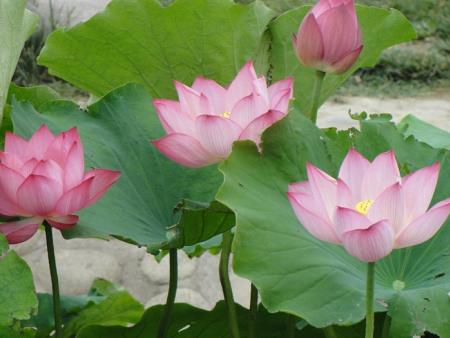 水生花卉的容器栽培
