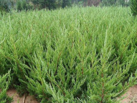 绿化苗木如何起苗