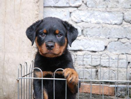 如何培养自己的幼犬排便习惯?