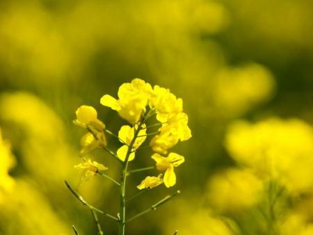 油菜花粉的功效与作用及其食用方法和副作用
