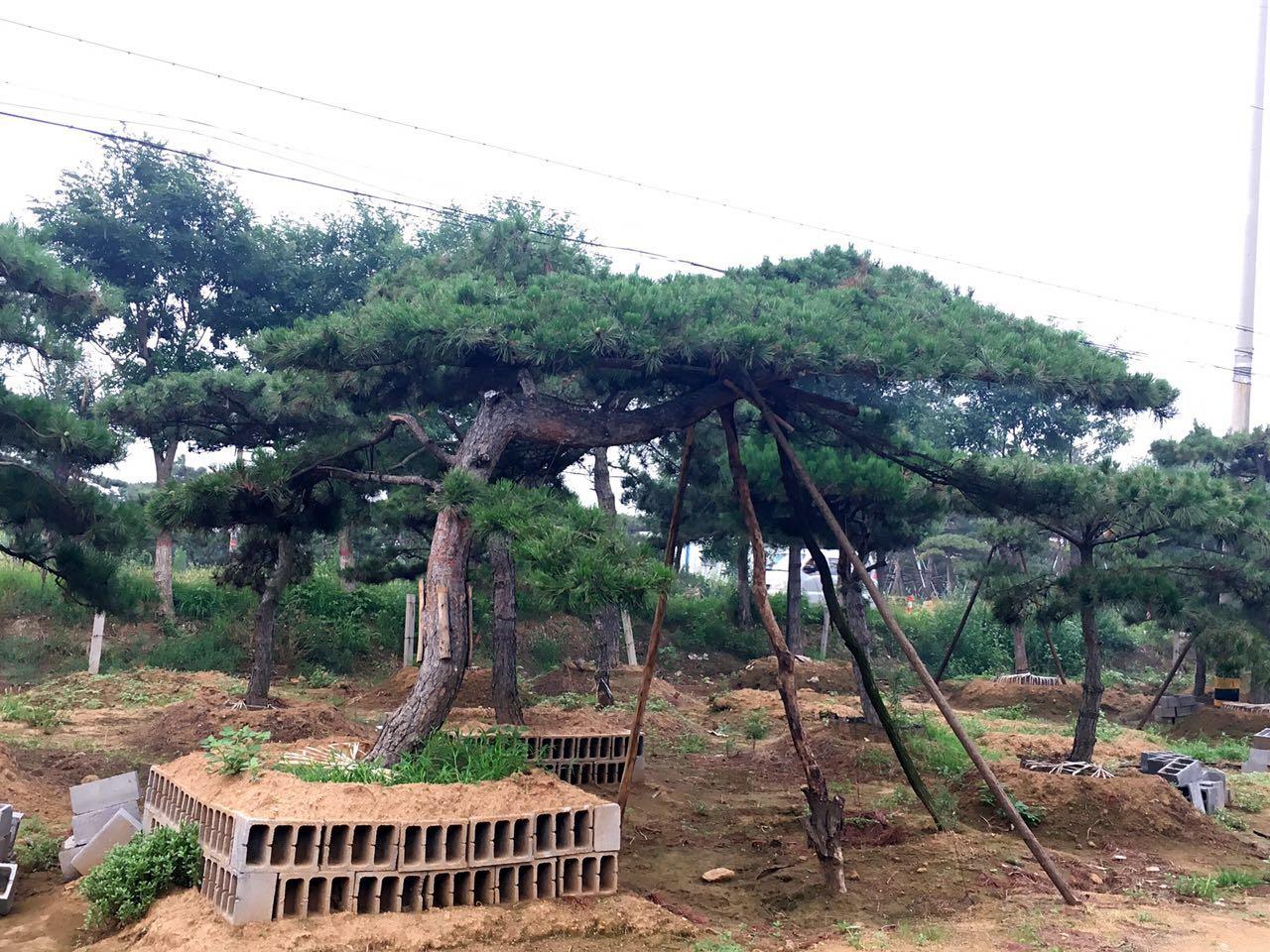 面對解決景觀松樹冠狹窄的問題,該如何解決?