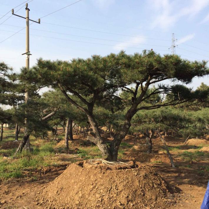 冬剪和夏剪可以促进造型松树的生长