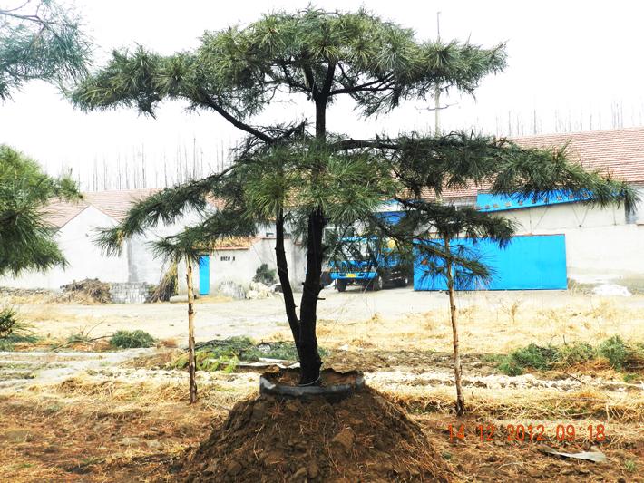 造型松树的生长状况研究具有重大意义
