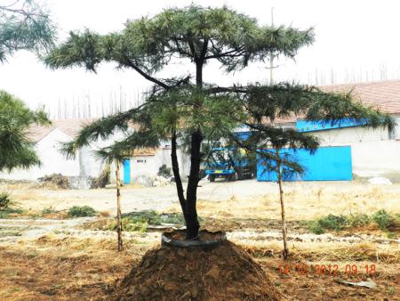 造型松樹的生長狀況研究具有重大意義