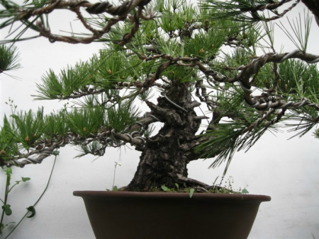 景松基地是通過什么樣的方法對盆景松分株的