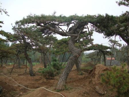 培育造型松树的作垄规格及种子处理办法要正确