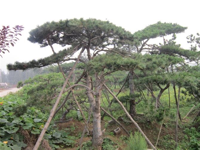 苗木新闻:轻松知道造型油松价格的估测方式!