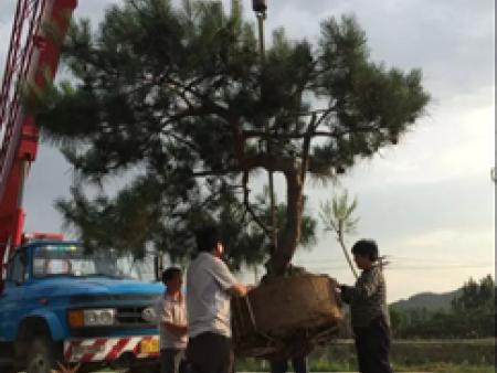 不为人知的造型松树竟有治疗作用!