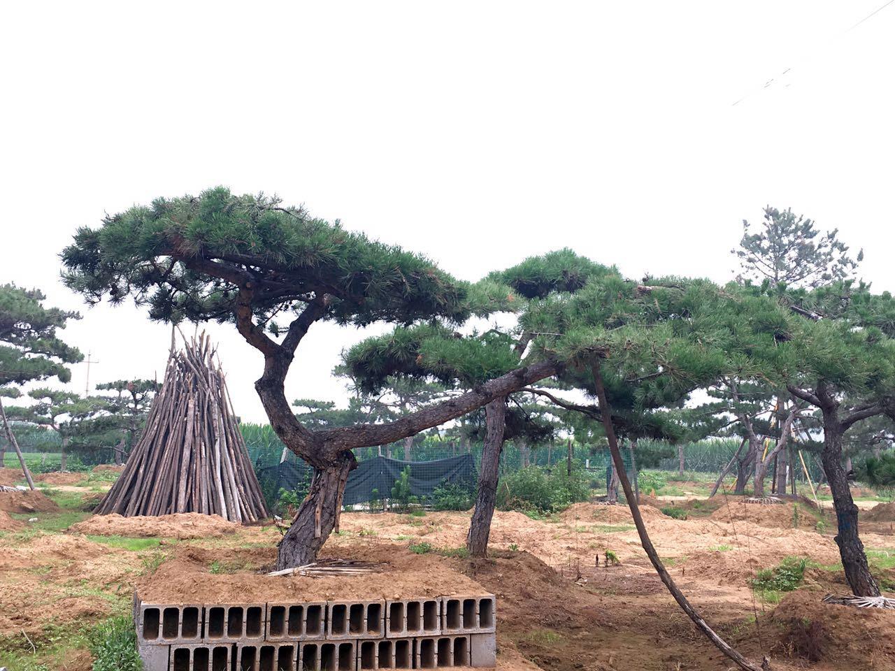 造型松基地通過合適的室溫讓苗木生長得更好