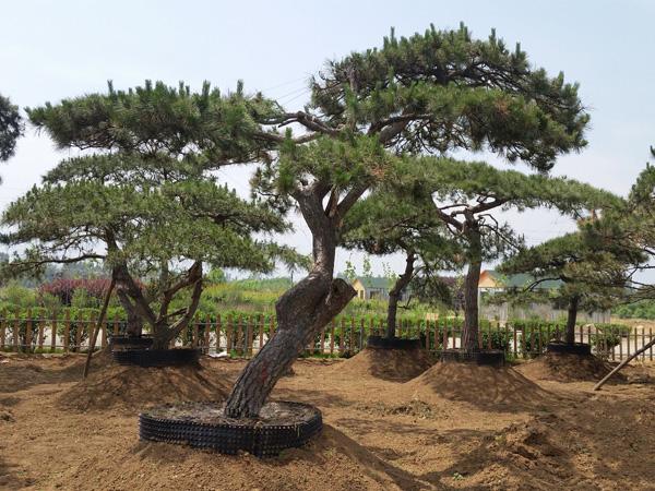 造型松移栽成活率的提高与浇水有着何种关系?
