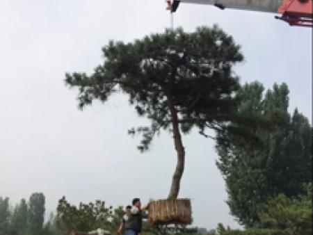 造型松要選擇在較為陰涼的環境中種植