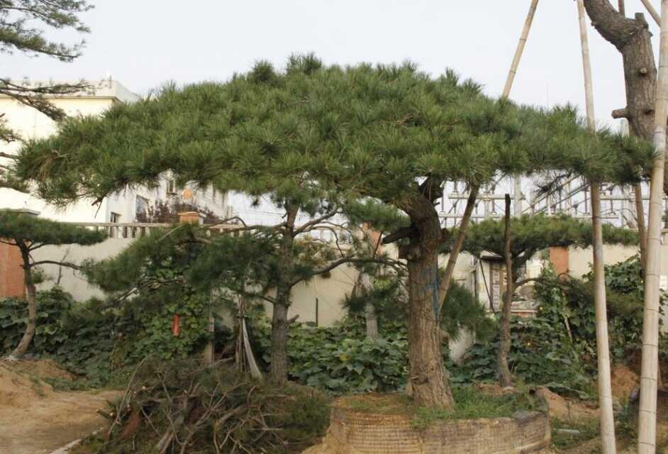 揭秘:造型油松基地分析造型油松的枝芽特性!