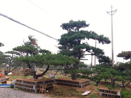 景觀松基地采取什么樣的措施讓樹木增值?