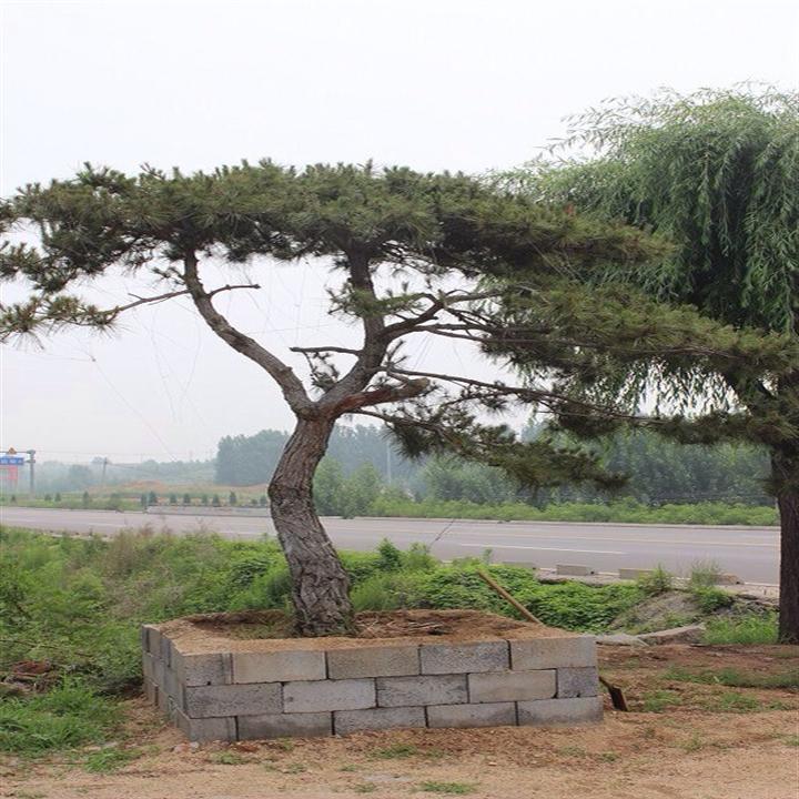 怎样选择泰山景观松的母树及种子