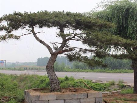 """春季养护泰山景观松,提高警惕莫入""""禁区"""""""