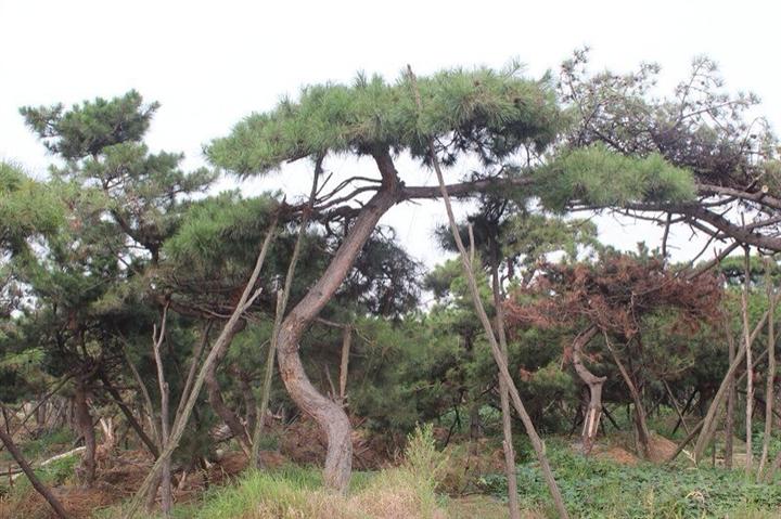 加強對泰山景觀松綠化工程建設的監督