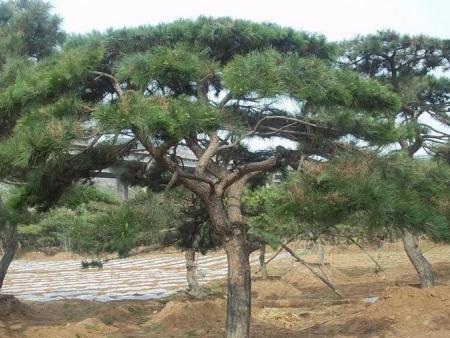 造型黑松对水分有多么的敏感