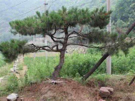 造型黑松对于生长环境和土壤的要求怎样