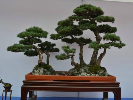 造型盆景松