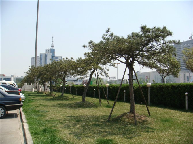 萊蕪造型松是公園、景區等綠化