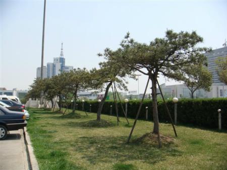 莱芜造型松是公园、景区等绿化