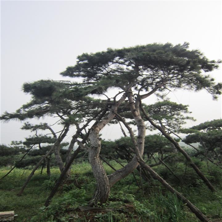 造型油松基地告訴你為樹木澆水需要掌握這些