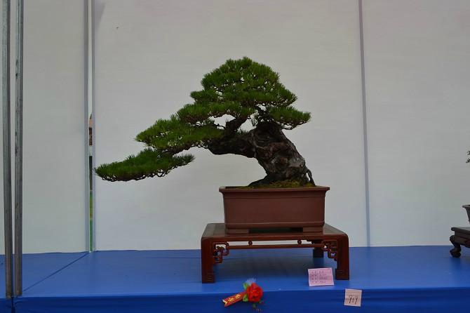 景觀松樹可以栽家里嗎?要看你家的情況哦!
