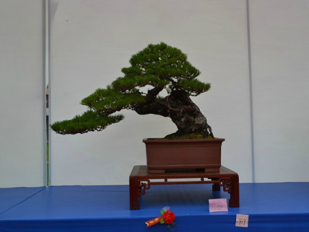 景观松树可以栽家里吗?要看你家的情况哦!