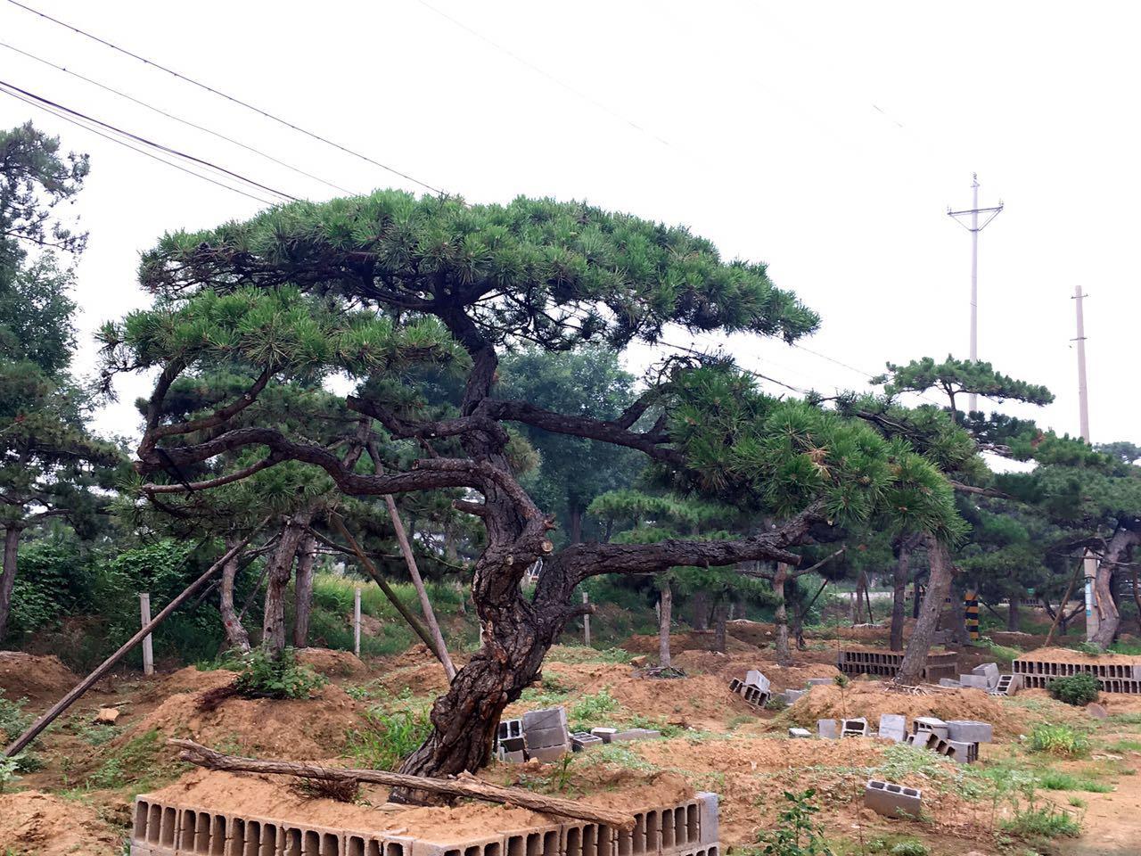 泰山景观松在进行移植时应掌握什么技巧