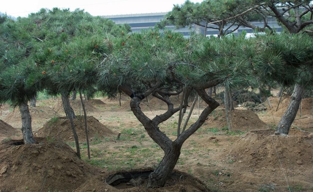 造型黑松修剪的主过程就是摘芽