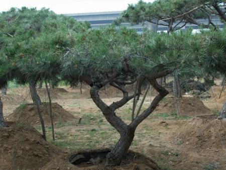 国庆好精彩,造型黑松的养护知识你了解吗