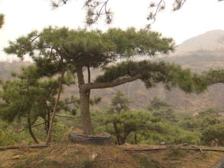 在泰山迎客松的生长过程中,你用过草木灰吗?