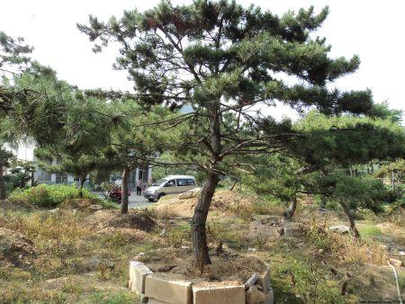 造型松的庭院培植技巧
