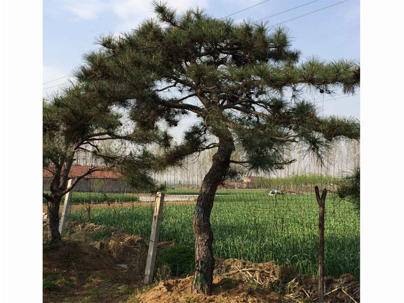 控制造型松树苗叶子病变的要领需掌握