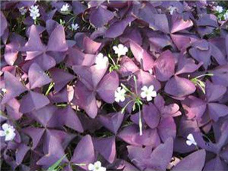 紫叶榨桨草