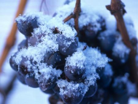 酒知识︱同爱情一般高雅的冰葡萄酒