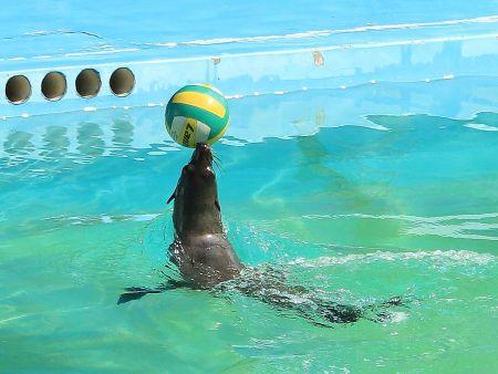 海狮表演出租分享海狮的生活习性